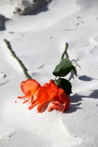 fresh-roses-on-sand
